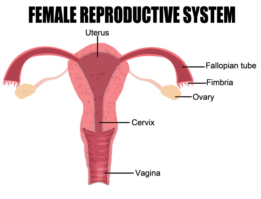 Что такое вагина 6 фотография